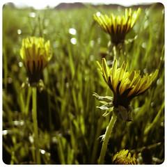Springbound #94 (Lumase) Tags: flowers yellow sunrise square hopeful supershot springbound xz1