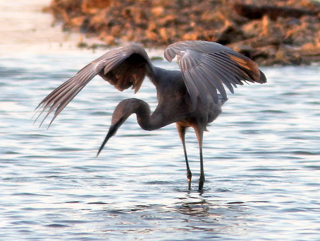 Reddish Egret dancing 4-20110406