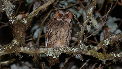 Luzon Scops Owl (Otus longicornis) at Mount Data (Bram Demeulemeester - Birdguiding Philippines) Tags: philippines owls luzon mountpolis fbwnewbird scopsowls bramdemeulemeester luzonscopsowl otuslongicornis birdguidingphilippines philippinesbirdingtours nightbrds