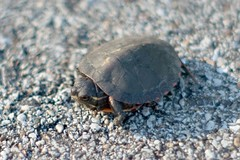 Teeny Tiny Turtle (ted @ndes) Tags: baby minolta snapping turtle sony a700 50mm17
