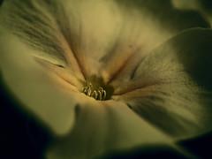 En el corazón (_Zahira_) Tags: flower macro yellow lafotodelasemana flor olympus amarillo nd ngr e500 uro 35mmmacro ltytr1