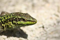 I'm watching you (Ale summer) Tags: eye animal animals head reptile lizard scales ritratto occhio animali animale lucertola testa portrairt rettile squame