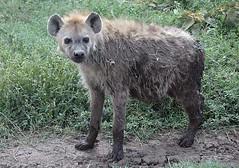 Serengeti Hyena 2