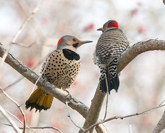 It's a Date (martytdx) Tags: male birds lifelist birding nj capemay woodpeckers flickers northernflicker colaptesauratus colaptes yellowshaftedflicker picidae territorialdisplay thebeanery