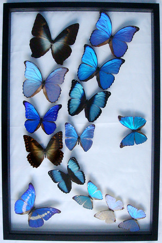 Butterfly Art and Pictures for Home Decor: Real Framed Blue Morpho ...