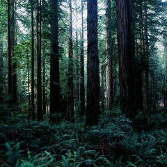 The Giants (nathanielperales) Tags: california trees beautiful beauty forest thankyou natural hasselblad iloveyou redwoods forests carlzeiss hasselblad500cm 0161 carlzeissplanar80mmf28t completelynatural fujichromevelvia100frvp itssodark manilovefilm iwouldntbehere ifitwerentforyou thankyouforsuggestingthis
