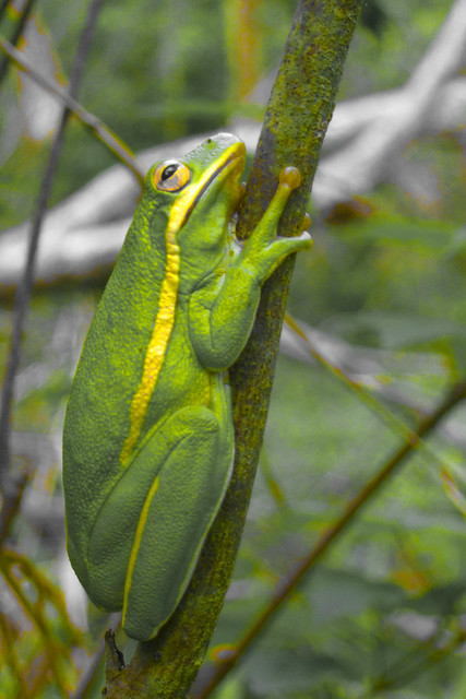 big thicket tree frog