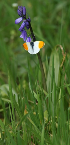 Orange-tip on Bluebell