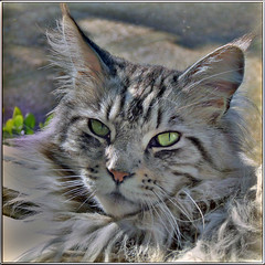 Floris (Cajaflez) Tags: portrait pet cat kat chat longhair adobe elements mainecoon katze portret gatto huisdier kater floris pedigree topshots raskat natureselegantshots 100commentgroup saariysqualitypictures mygearandme mygearandmepremium mygearandmebronze mygearandmesilver
