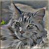 Floris (Cajaflez) Tags: portrait pet cat kat chat longhair adobe elements mainecoon katze portret gatto huisdier kater floris pedigree topshots raskat natureselegantshots 100commentgroup saariysqualitypictures mygearandme mygearandmepremium mygearandmebronze mygearandmesilver