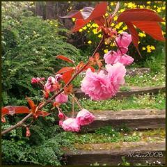 Mi jardín (nuska2008) Tags: nuska2008 naturaleza flores natureselegantshots nanebotas jardín travesaños gijón asturias nature primavera españa flowers somió olympussz30mr
