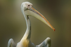 Pelican (Alex Berryman) Tags: park city london nature st britain wildlife pelican april british jamess