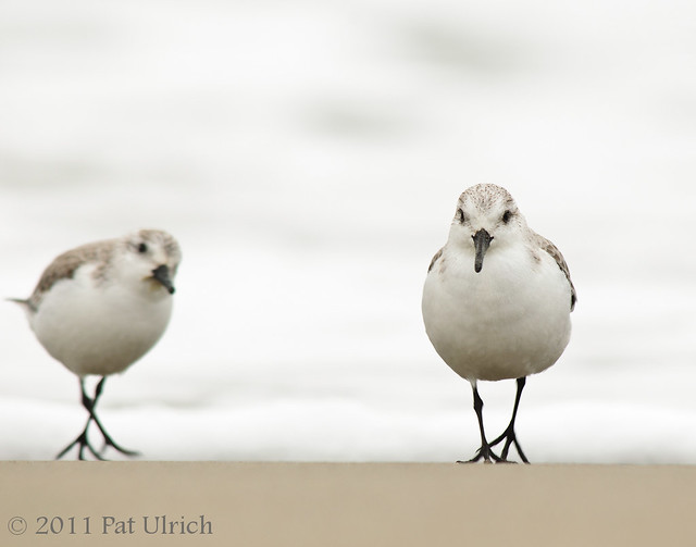 Sanderlings on the run - Pat Ulrich Wildlife Photography