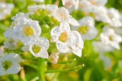 (Kristen C) Tags: plants white macro green yellow garden botanical spring sweet april botany scent brassica sweetalyssum 2011 lobulariamaritima