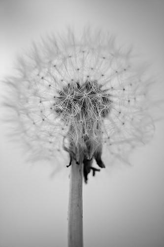 Dandelion mono by TCR4x4