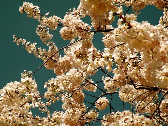 MF Blossoms