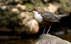 At Last .... !!!! Dipper close ups !!! (+17 in comments) (Gareth Scanlon) Tags: uk brown white bird water stone wales butterfly bug river ed grey fly moss nikon carmarthenshire jay blind wildlife tripod amman feather 300mm hide tc if pro garrulus 300 eurasian gareth scanlon larvae f4 teleconverter dgs afs manfrotto dipper wagtail chesnut throated garrulusglandarius cinerea kenko motacilla 14x teleconvertor cincluscinclus motacillacinerea cinclus glandarius teleplus brynamman carvis garethscanlon