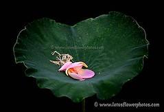 Lotus Flower # 68 (Amazing Tan Photos) Tags: flowers meditation  macrophotography   flordelotus lotusflowers flowerphotography fiorediloto hoasen   lotosblume bungateratai lotusflowerpictures   kwiatlotosu lotusflowerimages lotusblomst lotusflowerphotos fleurdeloto flordeloto lotusbloem lootuskukat lotosovkvty lotusblommorlotusblomster buddhistsymbol
