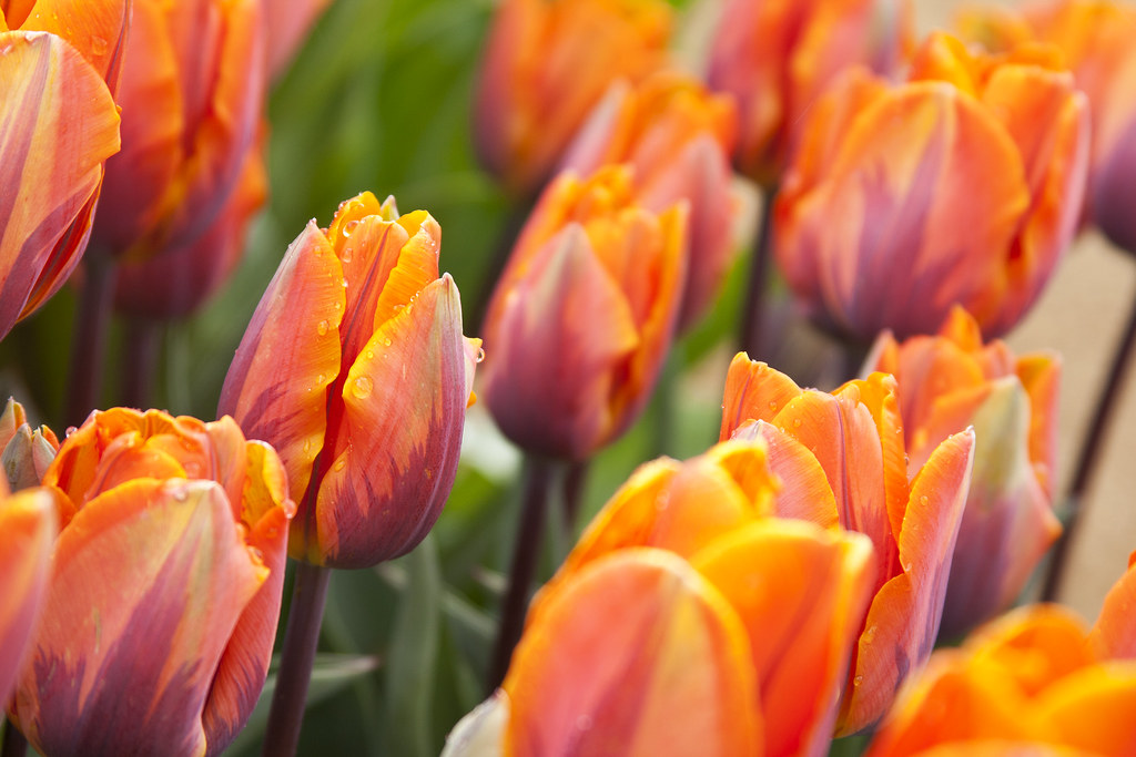wooden shoe tulip farm 18