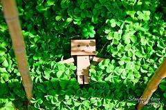 Sea of clovers (darktiger) Tags: plants green nature japanese robot cool interesting funny suit cardboard luck lucky figure clover magna yotsuba danbo revoltech danboard cardbo actionfigure stanfordmoore