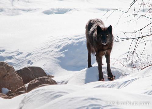 Wolf Jasper Alberta by Djm2u