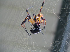 Banana Spiders Devour A Beetle (Michael Whay) Tags: male female insect death golden spider web attack orb mates araneae nephila clavipes blackandyelllow