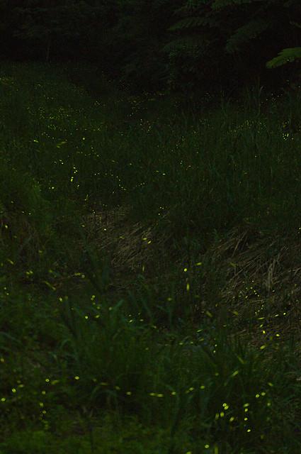 東勢螢火蟲