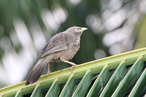 YellowBilledBabbler