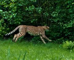 Cheetah - run (Acinonyx jubatus) (matteotarenghi) Tags: cats verde green felix felini cheetah mammals animali predators d300 acinonyxjubatus fiere carnivori torbiera ghepardo mammiferi tarenghi nikond300 animalinikon