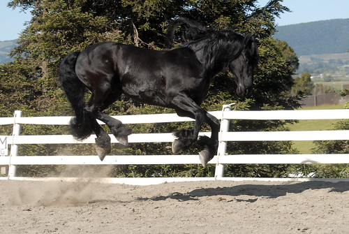 Friesian horse bucking