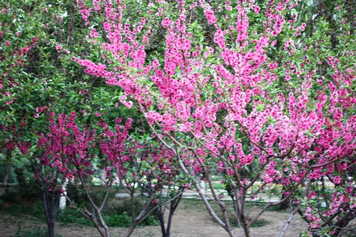 Yuyuantan Park: Best Place to see Cherry Blossoms in Beijing