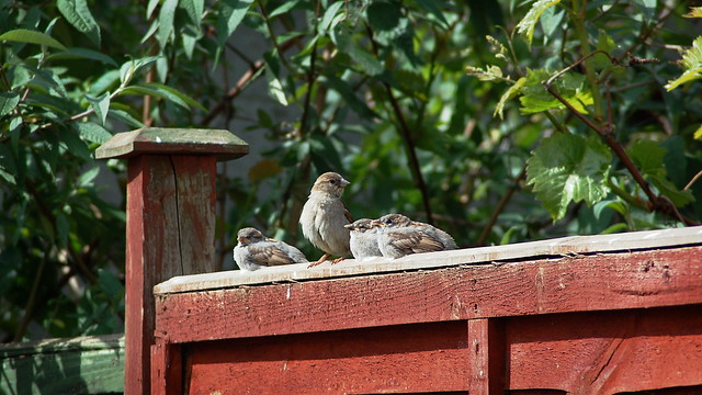 Mother sparrow and three fledglings sitting on a fence