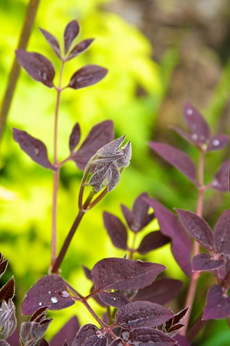 Clematis and Geranium