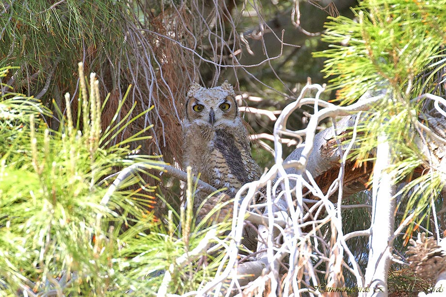 Great-horned-Owl-051101