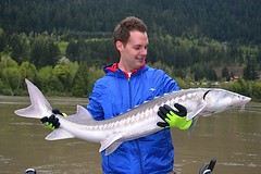 Keith's Sturgeon1 (Great River Fishing) Tags: fish fishing flyfishing trout fraserriver sturgeon steelhead slamon