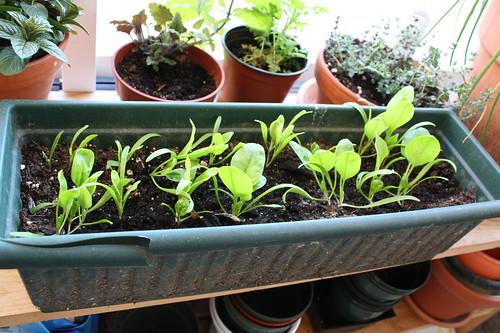 Balcony spinach