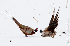 Pheasant Challenge (Nick Chill Photography) Tags: bird nature animal fauna photography fight nikon display pheasant wildlife iowa explore mating challenge animalia showdown avian decorah naturesfinest stockimage avianexcellence territorialdisplay d300s nickchill