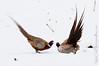Pheasant Challenge (Nick Chill Photography) Tags: bird nature animal fauna photography fight nikon display pheasant wildlife iowa explore mating challenge animalia showdown avian decorah naturesfinest stockimage avianexcellence territorialdisplay d300s nickchill