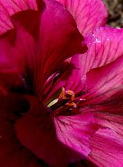 geranium center (artistgal) Tags: pink red flower macro closeup tag3 taggedout tag2 tag1 center geranium