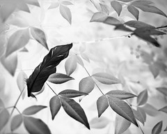 | abandoned | (oNe.SwEeT.wOrLd) Tags: bw tree leaves feather surreal images single monarch inverted blackfeather whitefeather 35mmf18 nikond60 monarchimages