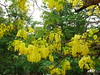 pleasing yellow and green (vakrathundam2000) Tags: kanikonna sarakondrai bandarlathi