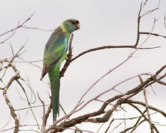 "Australian Ringneck (Race barnardi) ""Mallee Ringneck"" (petefeats) Tags: nature birds australia queensland australianbirds psittacidae psittaciformes bowra australianringneck barnardiuszonarisbarnardi"