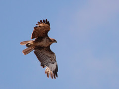 Musebussard / Common Buzzard (Buteo buteo) (Sexecutioner) Tags: bird nature birds animal animals canon germany deutschland tiere hessen wildlife natur buzzard vgel eurasianbuzzard buteobuteo tier vogel nauheim buizerd 2011 commonbuzzard musvge musebussard ormvrk ratonerocomn  hiirihaukka aligot poianaeurasiatica busevariable musvk steppebuzzard busardoratonero guiadeasaredonda buteobuteobuteo buteovulpinus europeancommonbuzzard   kanja busedessteppes grosgerau   egerszlyv bruinjakkalsvoel knlesn paprastasissuopis pervierdeurope copyrightsexecutioner aguilaratonera poianacomune poianadellesteppe  bayaahin buharro myszowzwyczajny msvkur busardoeuroasitico  busardocomn obiknovenmielov knelesn elangbuteo skjorvengje esparverocomn hiireviu obinikanjac myiakhrny   kanjacmiar klijns kanjuk