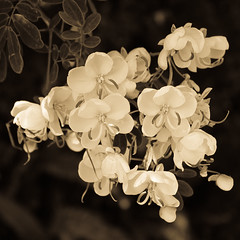 A mi manera (Martha MGR) Tags: flowers bw nature sepia square natureza mmgr marthamgr marthamariagrabnerraymundo marthamgraymundo