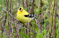 """Pirate"" Goldfinch, eyes closed (artlessfun) Tags: bird oregon americangoldfinch notquiteright oregonwildlife bentoncounty finleynwr artlessfun canoneosrebelt3i birdinginwillamettevalley"
