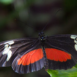 A type of Heliconius Erato butterfly thumbnail