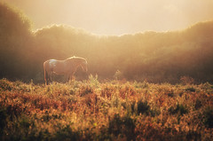 Fairytale (Philipp Klinger Photography) Tags: sa coma sacoma cala millor calamillor peninsula tree forest horse horses animal light golden gold fairytale fairy grass meadow hedge wild glow morning sunrise landscape nature mallorca majorca majorka spain spanien espana espanya nikon d700 shadow illes balears illesbalears islas baleares islasbaleares balearic islands balearicislands balearen balearische inseln balearischeinseln bravo