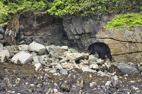 black bear at low tide