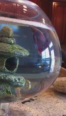 How to Make a Bubble Nest (Steve Ganz) Tags: betta bubblenest
