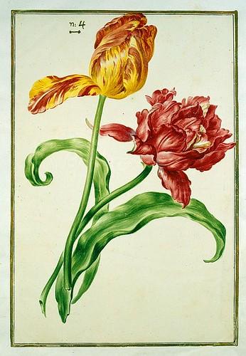 016-tulipan 16-Karlsruher Tulpenbuch - Cod. KS Nische C 13- Badische LandesBibliotheK